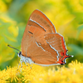Brown Hairstreak Butterfly