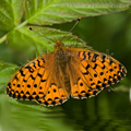 Dark Green Fritillary Butterfly